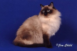 Seal Colorpoint Ragdoll Cat
